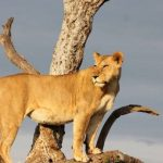 Selous Game Reserve Lion
