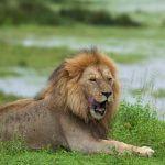 Tarangire National Park Lion